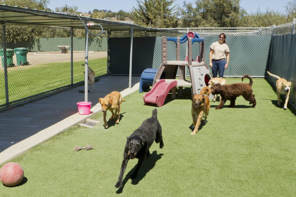 Female staff member at a Kennel supervising dogs playing together