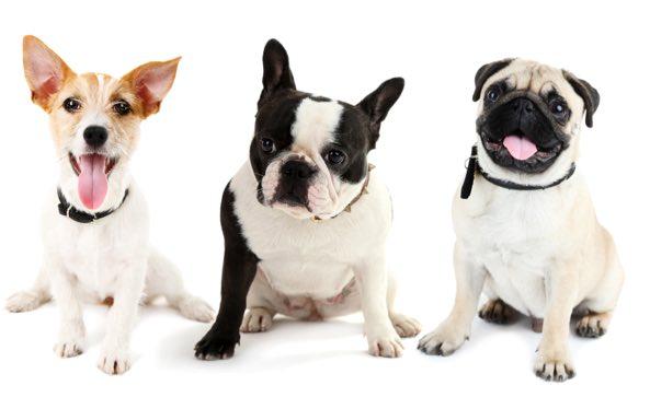 dog-trio