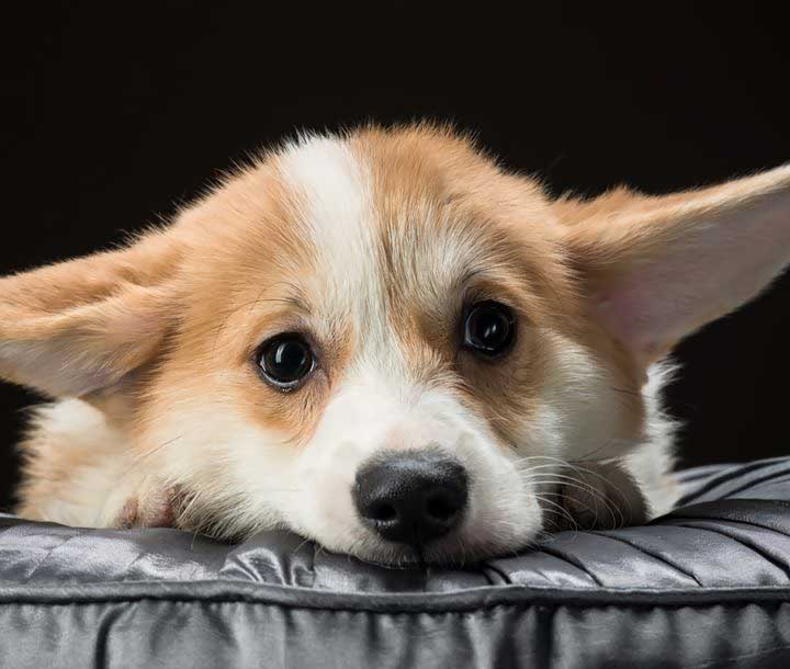 pampered-suites-cute-corgo