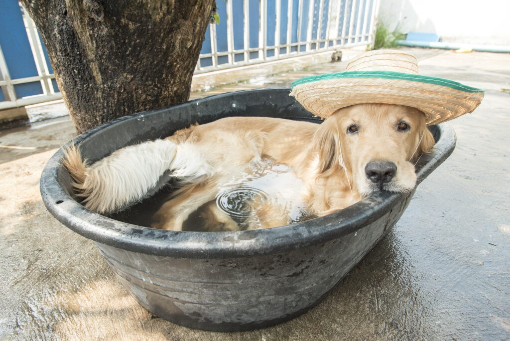 A golden retriever escapes the Arizona heat in an outdoor tub at Canine Country Club & Feline Inn