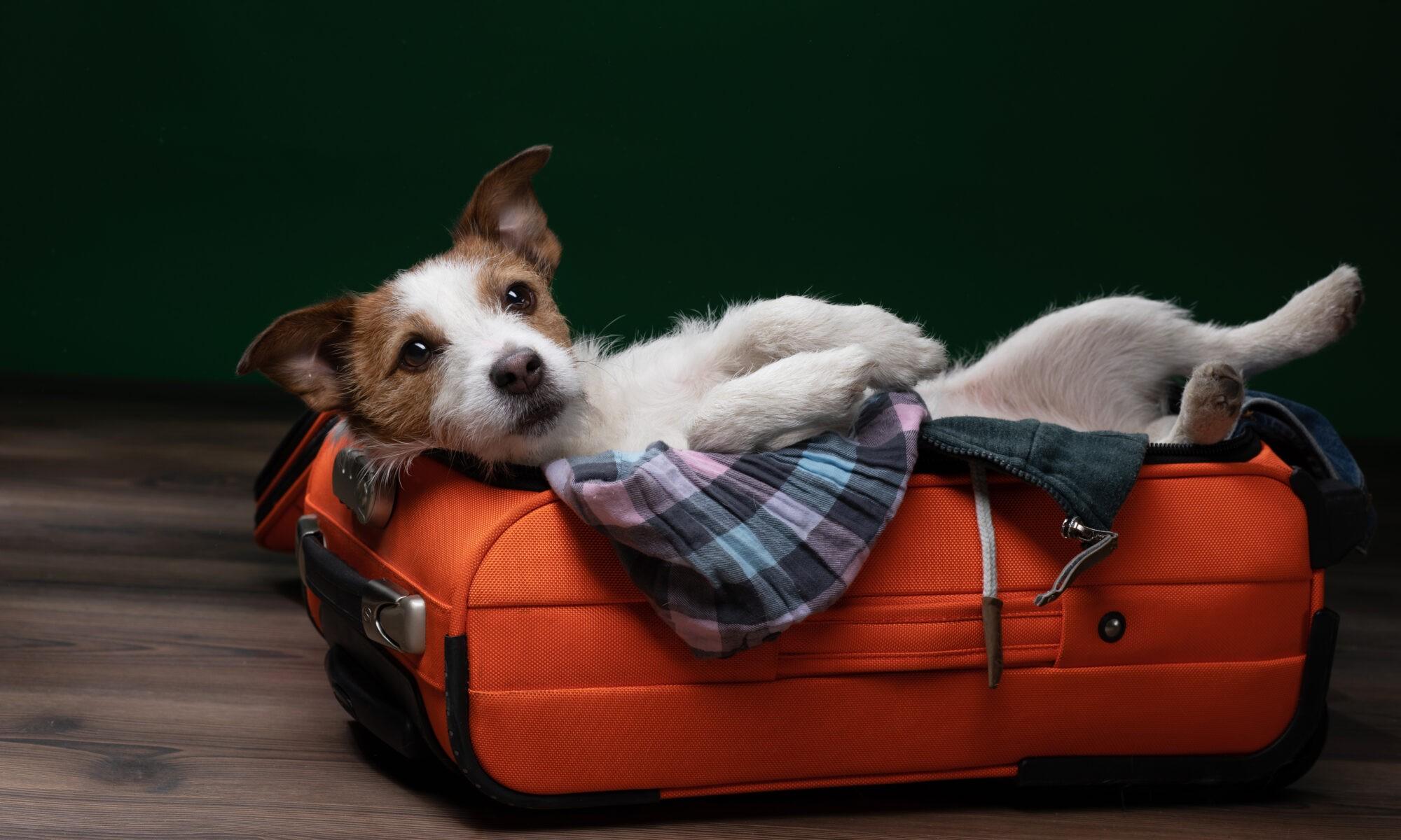 Canine Country Club & Feline Inn featuring a Jack Russell Terrier relaxing in Phoenix, AZ